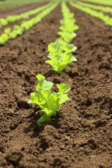 junger Salat auf dem Feld