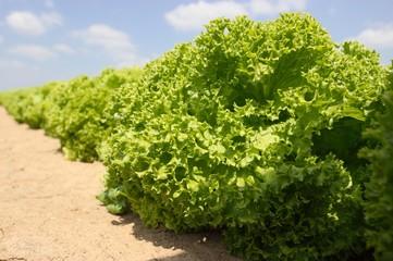 Salatkopf reif für die Ernte