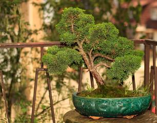 Chinesischer Bonsai Baum