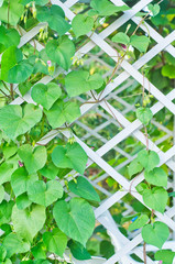 kiwi leaves