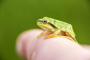 San Antonio Frog (Hyla arborea) on the finge. European Tree Frog