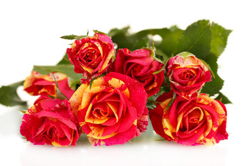 Beautiful red-yellow roses on white background close-up