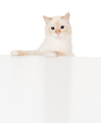 Cute kitten with empty board. isolated on white