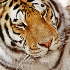 Portrait of a siberian tiger (Panthera tigris altaica)