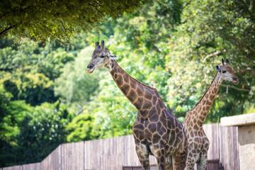 Giraffe in the zoo, Thailand