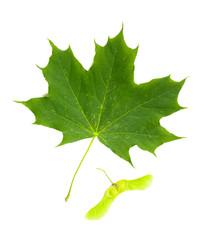 Green Maple tree (Acer Platanoides) leaf with Fruit (Samara), isolated on white background