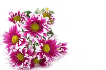 Fresh pink chrysanthemums