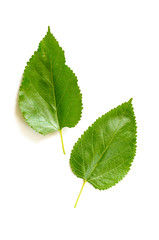 Two green Mulberry tree leaves isolated on white background