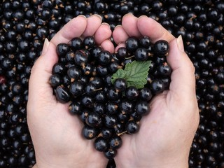 Black currant held by woman hands shaping a heart