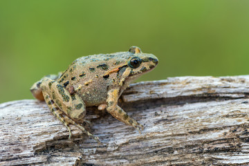 Tyrrhenian Painted Frog