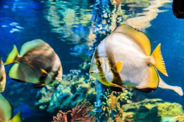 White angelfish black striped yellow tail