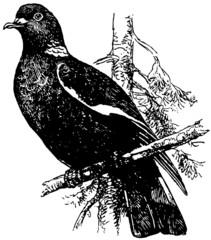 Bird Common Wood Pigeon