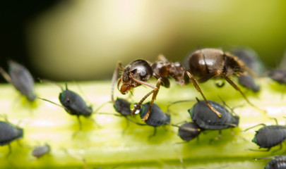 An ant extracting honeydew from aphids