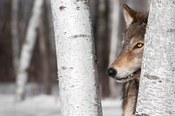 Fototapete - Grey Wolf (Canis lupus) Between Birch Trees