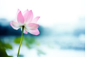 Garden Poster Lotus flower blooming lotus flower