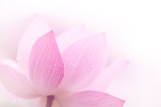 Closeup on lotus petal