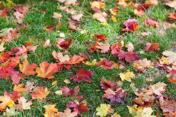 Autumn colorful maple leaves in park