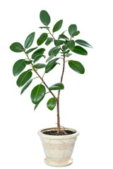 a ficus flower in a pot isolated on white