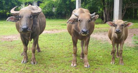 buffalos standing in grass