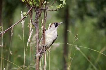 Fotoväggar - Green woodpecker, Picus viridis