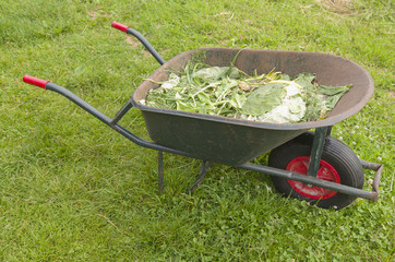 A wheelbarrow with plant remains.