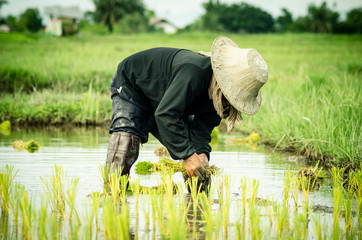 Rice transplanting .