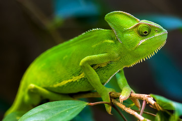 Photo sur Aluminium Cameleon Green chameleon
