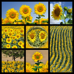 Mosaic photos of Sunflowers