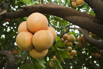 Fresh grapefruits on the tree