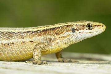 Zootoca vivipara / Viviparous Lizard in natural habitat