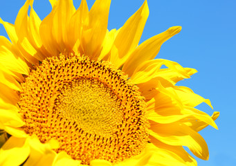 Beautiful sunflower on blue sky background, close up