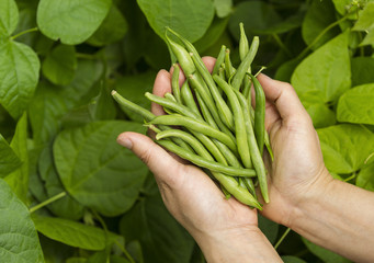 Hands filled with Fresh Green Beans from the Garden