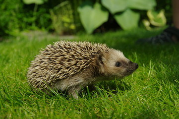 Cute hedgehog on lawn