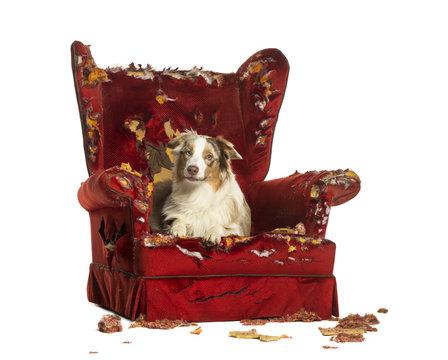 Australian Shepherd puppy, lying on a detroyed armchair
