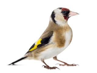European Goldfinch, carduelis carduelis, standing, isolated