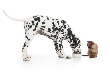 Fototapete - Dalmatian dog eating from bowl and kitten sitting close on white