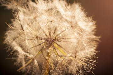 Fotorolgordijn Paardebloemen en water Flower Dandelion. Close-up