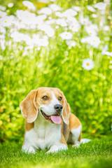 Beagle freiligend