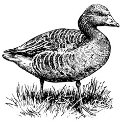Bird Greylag Goose
