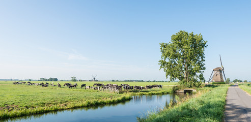 Grazing black and white cows in the Netherlands