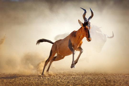 Red hartebeest running in dust