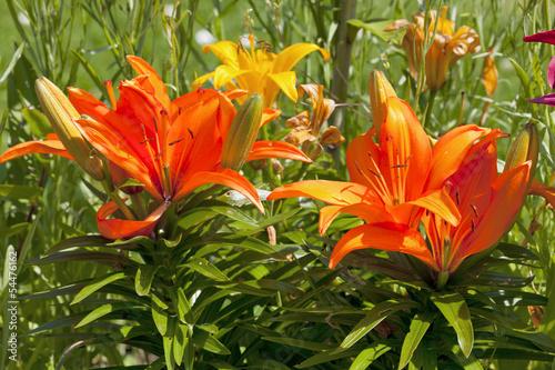 Wunderschöne Lilien Im Garten Stock Photo And Royalty Free Images