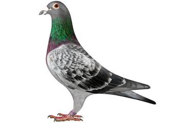Racing Pigeon - Brieftaube Fototapete