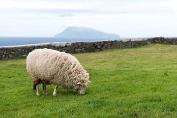 Schaf beim fressen