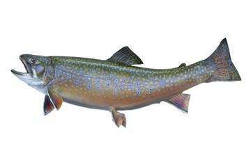 Speckled or brook trout isolated on white background