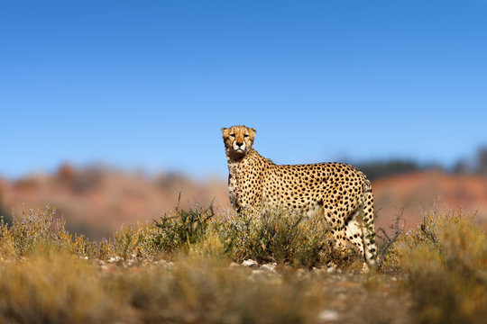 Cheetah on top of a hil