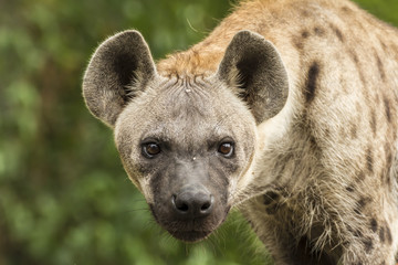 Poster Hyène Spotted Hyena in the wild