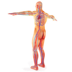 Male Human circulatory system on a white background.