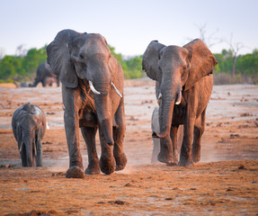 Fighting  and charging elephants
