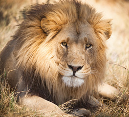 Large lion in Zambia, Africa